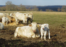 Mother and baby cows. Mother and calf in a field Stock Images