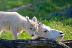 Mother and Baby Dall Sheep in green grass with tree log, white, closeup, summer, sunny, beautiful, loving, together stock photos