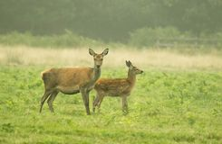 Mother and baby deer grazing Stock Photo