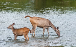 Mother and baby deer Stock Photography