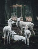 A mother and baby deer standing at the edge of the woods. Portrait of a white deer in forest royalty free stock image