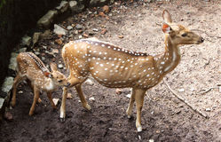 Mother and baby deers. Spotted mother deer and its baby in a zoological park royalty free stock photos