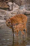 Mother and baby deers. Watering royalty free stock photos