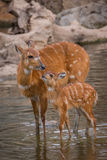 Mother and baby deers. Watering stock photo