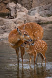 Mother and baby deers. Watering stock images