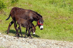 Mother and baby donkey. Two donkeys (mother and cub) on the stony road walking affection Stock Photography
