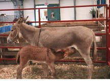 Mother and Baby Donkey Stock Photos