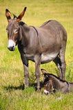 Mother and Baby Donkey. A mother and baby donkey at Custer State Park, South Dakota Stock Images