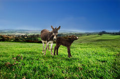 Mother and baby donkey. Royalty Free Stock Photos