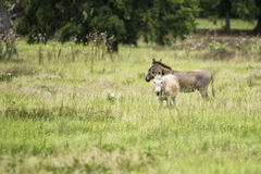 Mother and Baby Donkey Royalty Free Stock Images