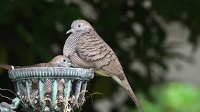 Mother and baby dove stock footage