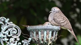 Mother and baby dove stock video