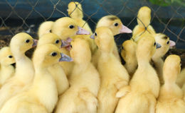 Mother and baby duck. On a farm royalty free stock photos