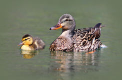 Mother and Baby Duck. A mother Mallard with her duckling royalty free stock photography