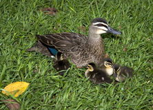 Mother and baby ducks Stock Photography