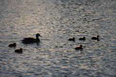 Mother and baby ducks swimming royalty free stock photo