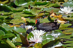 Mother and baby Dusky Moorhen Royalty Free Stock Image