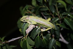 Mother and baby Dwarf Chameleons Stock Images