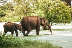 Mother and baby elefants go drink water from pond in national na. Ture park Udawalawe, Sri Lanka royalty free stock photography