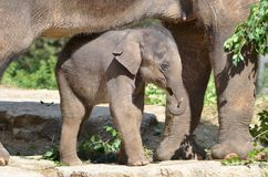 Mother and baby elephant Royalty Free Stock Photos