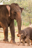 Mother and baby elephant. In elephant breeding central Royalty Free Stock Image