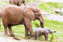 Mother and baby elephant Stock Photo