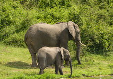 Mother and Baby Elephant along a River Royalty Free Stock Photography
