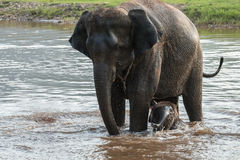 Mother and baby elephant bathing Royalty Free Stock Image