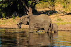 Mother and baby elephant drinking river Chobe Royalty Free Stock Photos