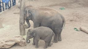 Mother and Baby elephant feeding together at Taronga Zoo, Mosman NSW, Australia royalty free stock image