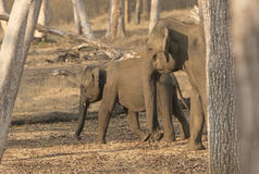 Mother and Baby Elephant in the Forest Royalty Free Stock Photo