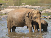 Mother and baby elephant having bath in river - Elephas maximus Royalty Free Stock Photo