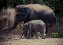 A Pair of Elephants stock images