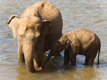 Mother and baby elephant in river Royalty Free Stock Image