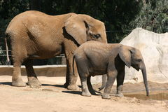 Mother and baby elephant. At San Diego Zoo next to a rlarge rock royalty free stock image