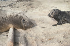Mother and Baby Elephant Seals at San Nicholas Island Stock Images