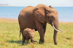 Mother and Baby Elephant standing on the shoreline in Lake Kariba. Vibrant image of a Mother Elephant and her very small baby calf on the lush plains in Lake royalty free stock photos