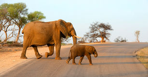 Mother and baby elephant walking across a road. In the warm afternoon sun in Kruger National Park in South Africa Stock Images