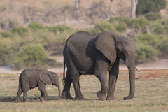 Mother and baby elephant walking along the Choebe Royalty Free Stock Photography