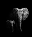Mother and Baby Elephant. Mother walking with her baby (creative edit Stock Photos