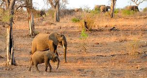 A mother and baby elephant walking with a herd of elephants Royalty Free Stock Photo