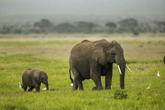 Mother and baby elephant are walking on plains. Stock Photo