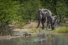 Mother and baby elephant beside water hole royalty free stock photography