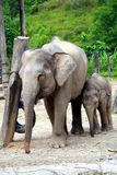 Mother and baby elephants. Walking together in the zoo stock photos