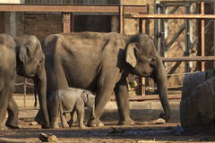 Mother and baby Elephants Royalty Free Stock Photo