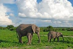 Mother and baby elephants in savannah(Zimbabwe). Mother and baby african elephants walking in savannah. Taken in Chobe National Park, Zimbabwe stock image
