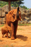 Mother with Baby Elephants Walking Outdoors. Royalty Free Stock Photography