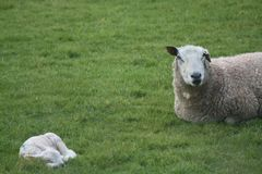 Mother and baby. Mother baby ewe lamb spribg field green sleeping calm watching stock photography