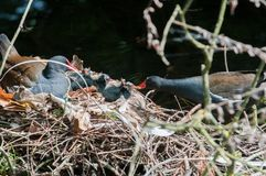 Mother and baby birds nesting on a river nest. Mother and baby. Family of birds nesting on a river nest royalty free stock photo