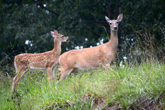 Mother and baby. A female white tail deer with her fawn, the baby standing slightly behind the doe Royalty Free Stock Images